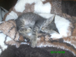 Morgan - Male Cat (5 months)