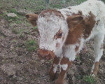 Fire Cracker - Male Cow (1 month)