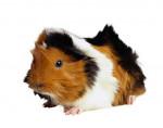luna - Hamster (9 months)