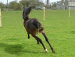 Bolero - Male Pony (2 years)