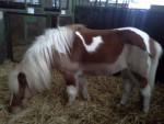 Kakawuete - Pony (4 years)