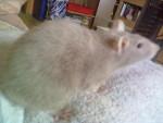 Schicka - Rat (1 year)