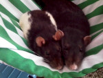 shadow and sam - Male Rat (10 months)